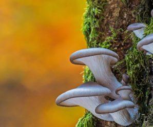 Полезные свойства грибов Вешенки